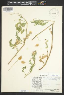 Astragalus lentiginosus var. oropedii image