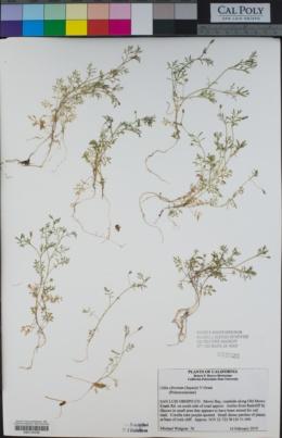 Gilia clivorum image
