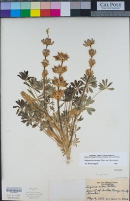 Lupinus microcarpus image