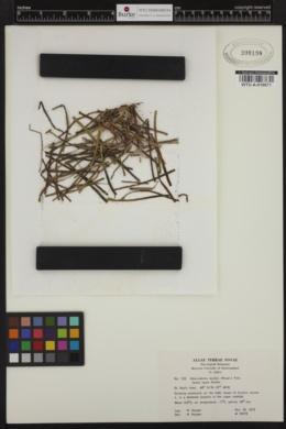 Pneophyllum fragile image