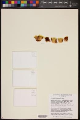 Image of Parodia columnaris
