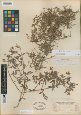 Image of Philadelphus minutus