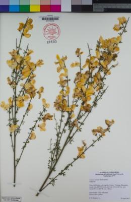Cytisus striatus image