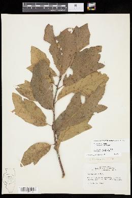 Quercus × leana image