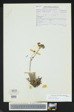 Image of Eriogonum hieraciifolium