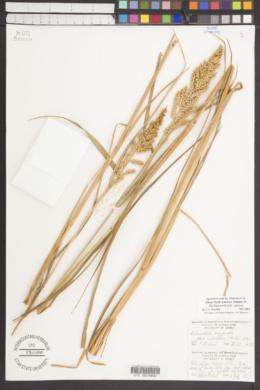 Image of Echinochloa oryzicola
