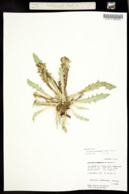Cirsium tioganum image