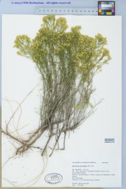 Gutierrezia microcephala image