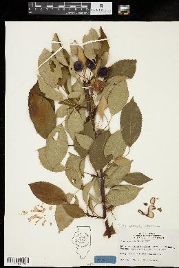 Image of Malus spectabilis