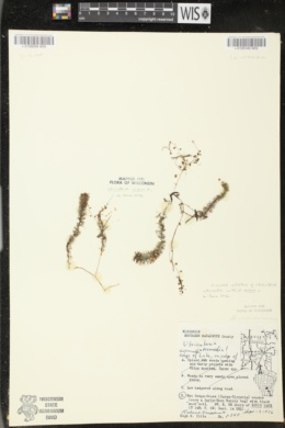 Utricularia minor image