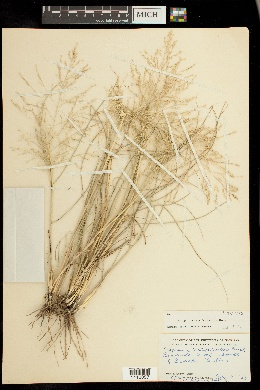Eragrostis curtipedicellata image