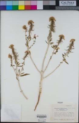 Eremothera boothii subsp. decorticans image