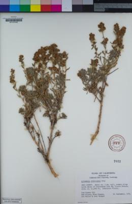 Image of Artemisia rothrockii