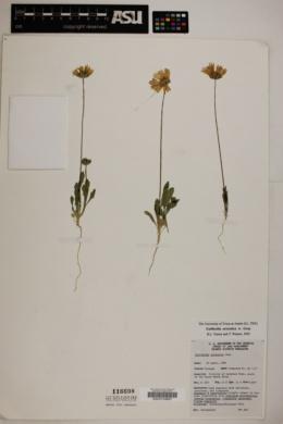Gaillardia arizonica image