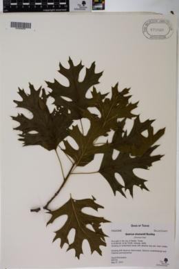 Quercus shumardii image