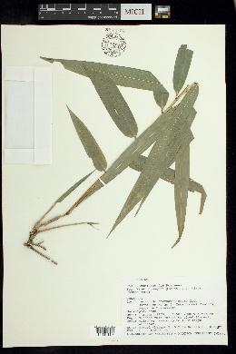 Image of Chusquea glauca