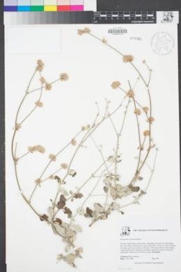 Image of Eriogonum cinereum