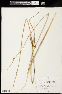 Schoenoplectus pungens image