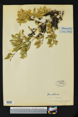 Forestiera pubescens var. pubescens image
