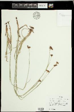 Rhynchospora baldwinii image