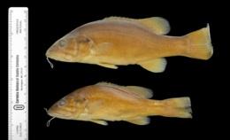Micropterus dolomieu image
