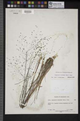 Eragrostis trichodes image