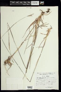 Image of Andropogon pringlei