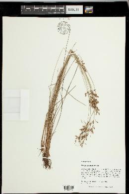 Image of Fimbristylis decipiens