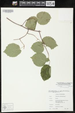 Viburnum rafinesqueanum image