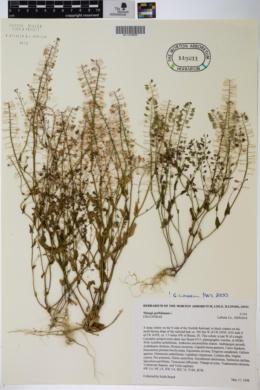 Image of Microthlaspi perfoliatum