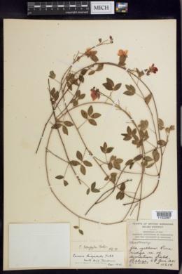 Chamaecrista hispidula image