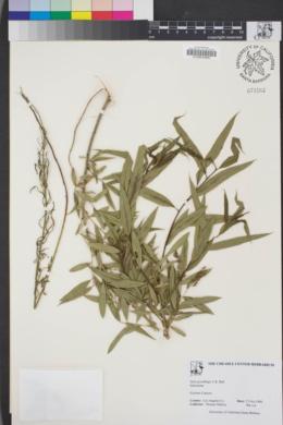 Image of Salix gooddingii