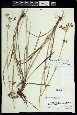 Image of Rhynchospora robusta