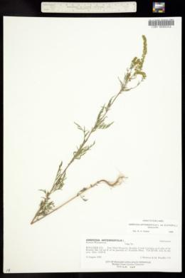 Ambrosia artemisiifolia var. elatior image