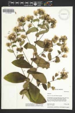 Image of Acourtia patens