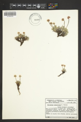 Image of Eriogonum gracilipes