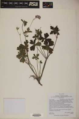 Geranium caespitosum var. marginale image