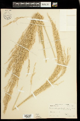 Calamovilfa gigantea image