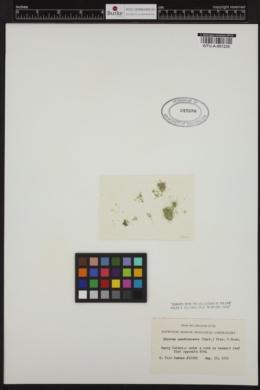 Phyllodictyon anastomosans image