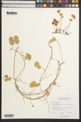 Marsilea quadrifolia image
