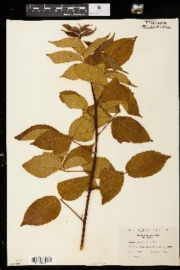Rubus ostryifolius image