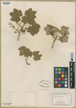 Ribes laxiflorum image