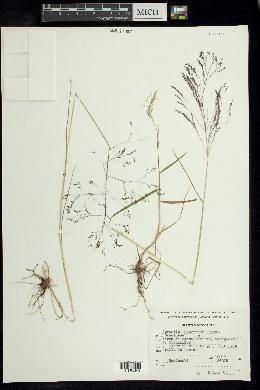 Image of Agrostis schaffneri