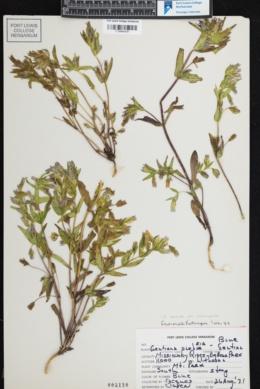 Gentianella amarella subsp. heterosepala image
