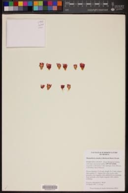 Mammillaria standleyi image