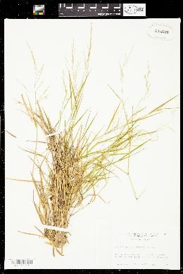 Image of Glyceria pallida