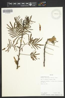 Image of Mimosa tenuiflora