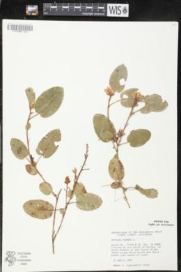 Epigaea repens image