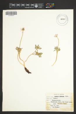 Anemone tuberosa image