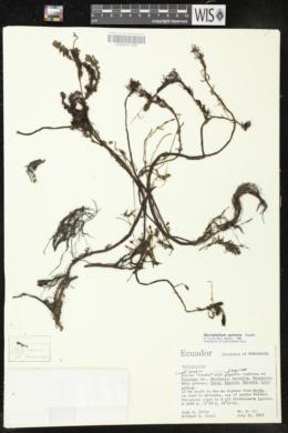 Myriophyllum quitense image